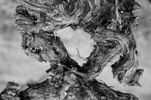 Old gnarled growth vines