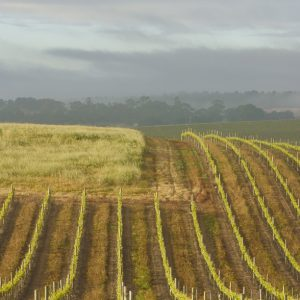 morning mist and rows of vines