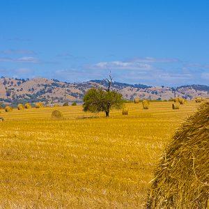 Large round straw bales of hay