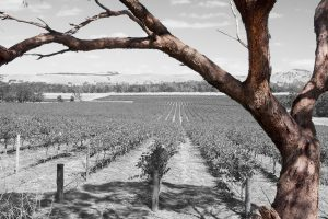 Old tree ,red bark and vineyard