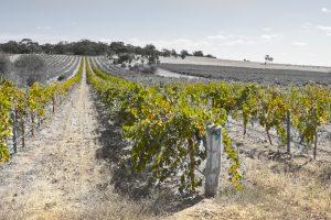 Rows of vines Gomersal Barossa Valley.