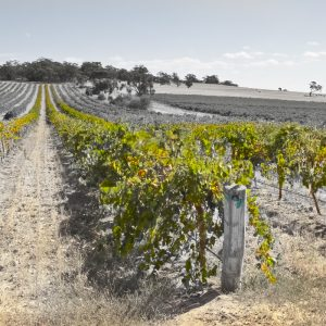 Rows of vines Gomersal Barossa Valley.