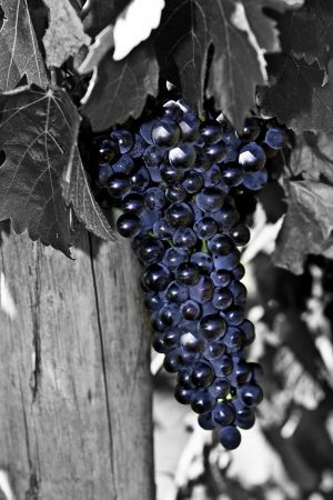 Blue bunch of grapes