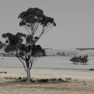 Gum Tree and sheep rural setting