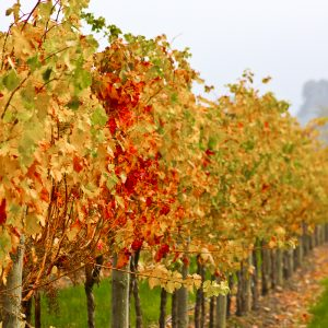 Rows of red and yellow vines
