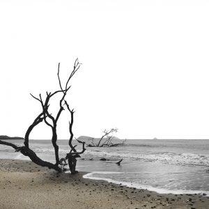 Dead black mangrove Tree
