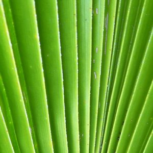 green long palm leaves