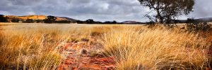 tall yellow windswept spinifex plain