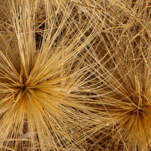thin wispy grass seeds