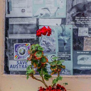 Old Red saucepan and red geranium